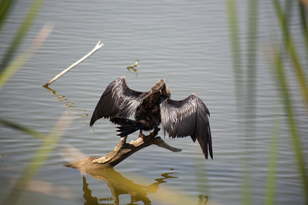 Anhinga (snake bird, water turkey, darter) sunning to dry off after diving into the water trying to catch fish Stok Fotoğraf