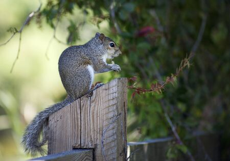 Closeup of cute grey squirrel eating peanuts. Composition with animals
