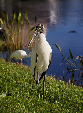 Wood stork on a background of green grass. Nature background.Sunny day Stok Fotoğraf