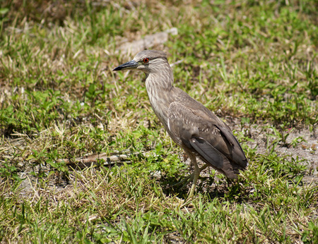 Baby birds, chick night heron with brown feathers