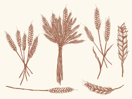 Wheat ears sketch doodle, vector collection wheat