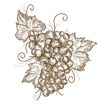 Grapes branch hand drawn vector illustration on white background.
