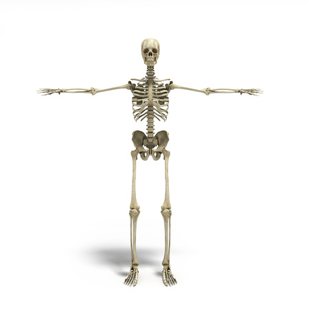 frontal: medical accurate 3d render of the human skeleton