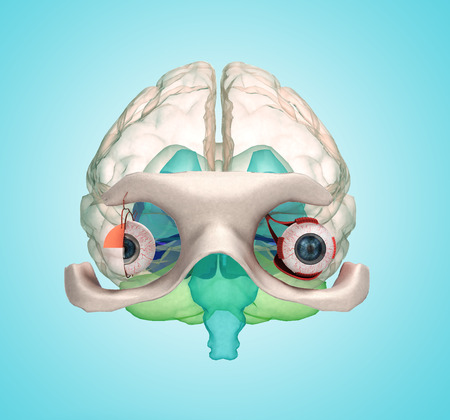 Eye anatomy and structure, muscles, nerves and blood vessels of the eyes 3d illustration on gradient