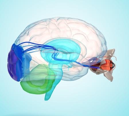눈 해부학 및 구조, 근육, 신경 및 눈 혈관 3d 렌더링에 그라데이션