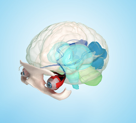 blue vessels: Eye anatomy and structure, muscles, nerves and blood vessels of the eyes 3d illustration on blue