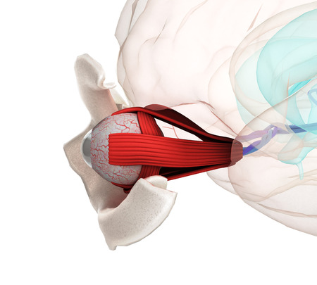 Eye anatomy and structure, muscles, nerves and blood vessels of the eyes close up 3d illustration