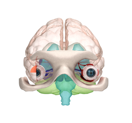 optic nerve: Eye anatomy and structure, muscles, nerves and blood vessels of the eyes 3d illustration