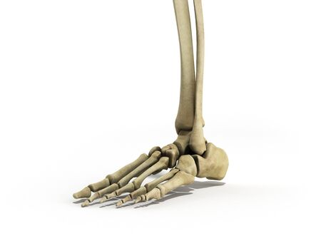 medical accurate illustration of the foot ligaments 3d render on white