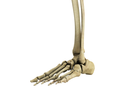 medical accurate illustration of the foot ligaments 3d render no shadow Stock Photo