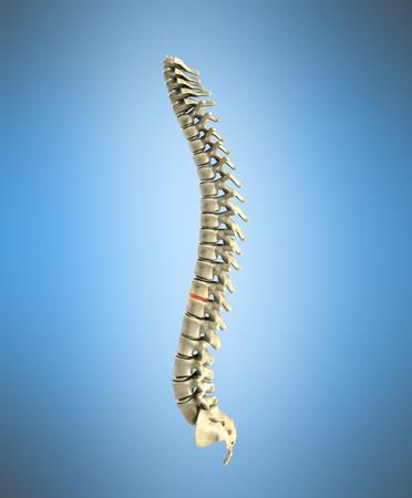 human spine 3d render on blue background
