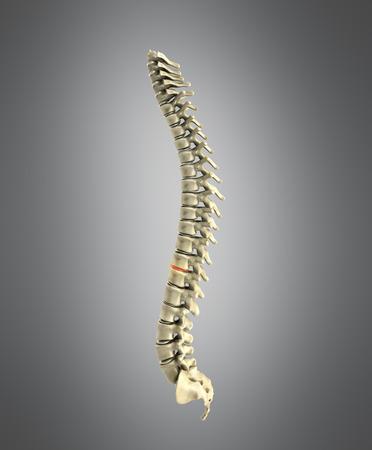 human spine 3d render on grey background
