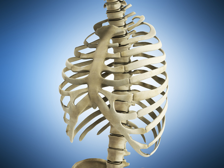 uman Skeleton Ribs with vertebral column Anatomy Anterior view 3D render on blue