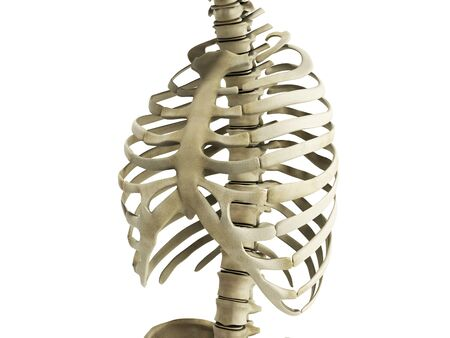 uman Skeleton Ribs with vertebral column Anatomy Anterior view 3D render 版權商用圖片