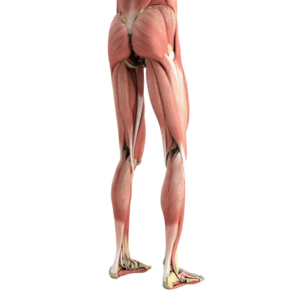 medical accurate illustration of the leg muscles 3d render on white no shadow