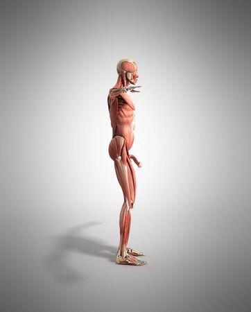 Menschliche Muskel-Anatomie 3d übertragen Auf Grau Lizenzfreie Fotos ...