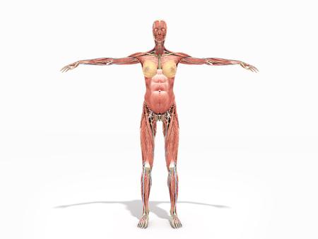 Eine Weibliche Nackte Körperanatomie Für Illustration Der Bücher 3d ...