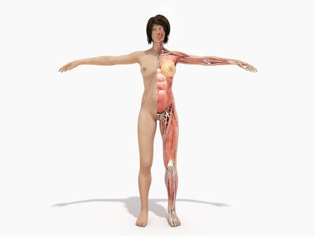 A female nude body anatomy for books 3d illustration on white