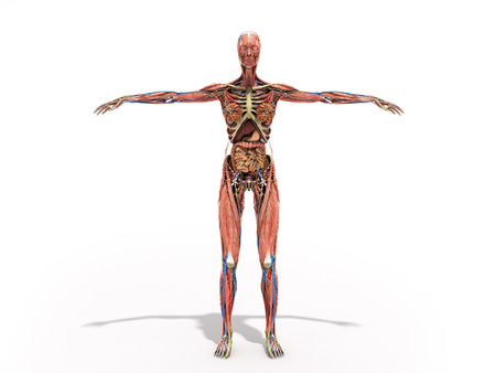 A Woman Body For Books On Anatomy 3d Render On Blue Stock Photo