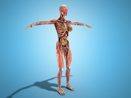 A Female Body Anatomy For Books 3d Render On Blue Stock Photo
