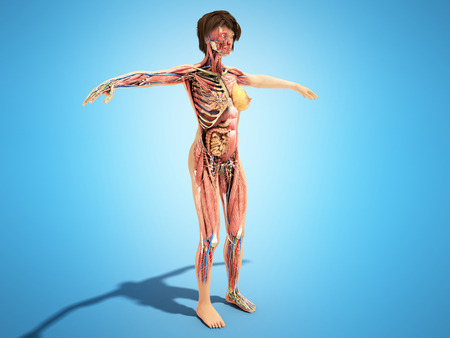 A female layer body anatomy for books 3d ilustration on blue Stock Photo