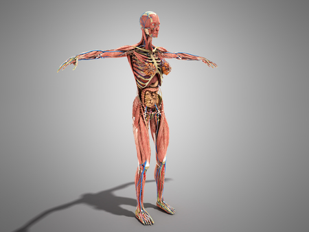 A female body anatomy for books 3d ilustration on grey