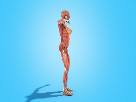 A female body anatomy for books 3d image on blue