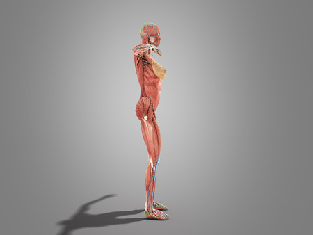 A female body anatomy for books 3d image on grey Stock Photo