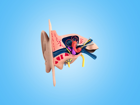Human ear structure medical educational science 3d rendrer illustration Ear anatomy Stock Illustration - 94342470