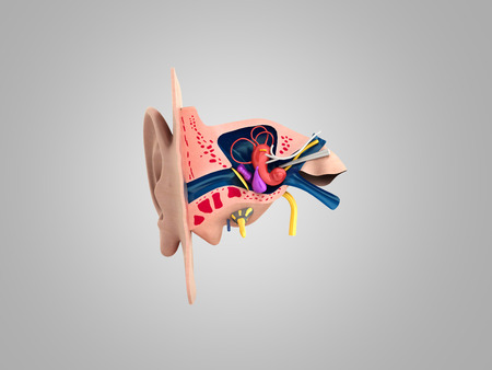 Human ear structure medical educational science 3d rendrer illustration Ear anatomy Stock Illustration - 94384746