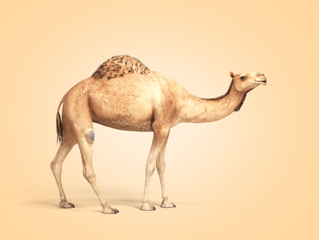 camel stands on color gradient background 3d render