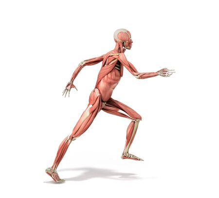 medically accurate illustration of a human muscle system run pose 3d rendered on white