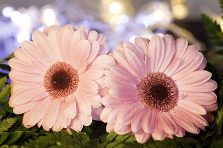 pink daisy: two pink daisy with a green plant