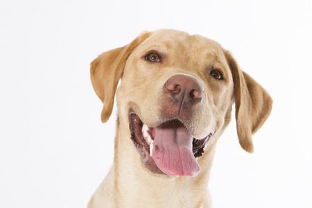 labrador: labrador dog Stock Photo