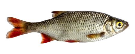 Geïsoleerde rudd, een soort vis van de kant. Levende vis met stromende vinnen. Rivier vis Stockfoto
