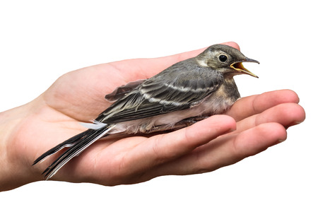 blotched: wounded bird tree pipit in the hands, isolated on white background. Anthus trivialis. swallow Stock Photo