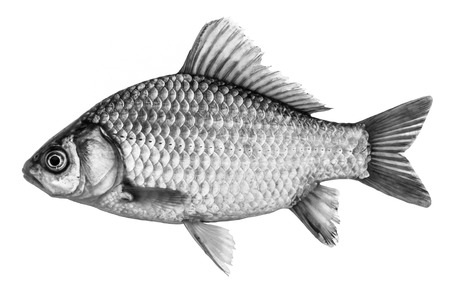 sheatfish: Fish crucian carp, isolated black and white, side view.