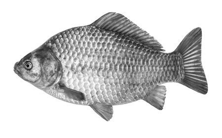 sheatfish: Fish crucian carp, isolated on white background Stock Photo