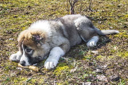 Fluffy Caucasian shepherd dog is lying on the ground and gnawing the stick Stock Photo