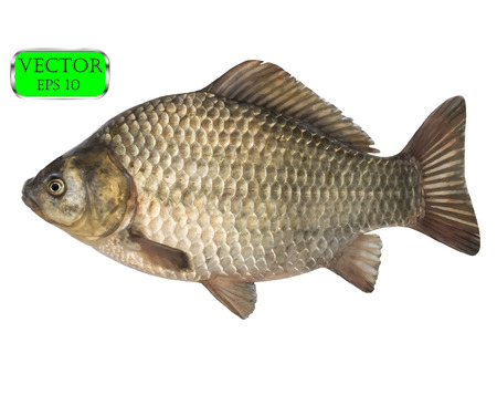 Fresh raw fish crucian carp isolated on white background. Vector illustration