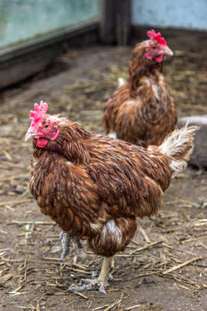 red chicken standing on one leg Stock Photo