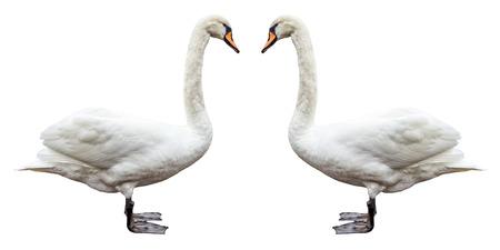 分離された白い鳥白鳥側ビュー 写真素材
