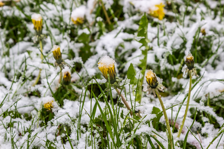 heavy snow: winter in spring, May 2017, Belarus Stock Photo