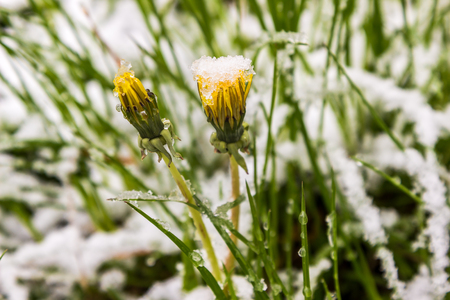 atmospheric phenomena: 11.05.2017, Minsk, Belarus, dandelions in snow in spring