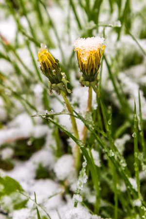 dandelions in snow, May 11, 2017 year, Minsk, Belarus Stock Photo