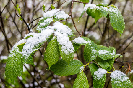 anomalous spring in Belarus, snow on branch of blooming tree in May 2017