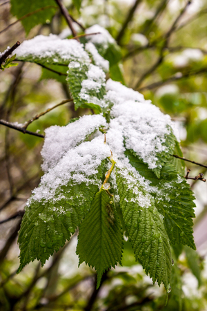 snow on branch of blooming tree in spring Stock Photo