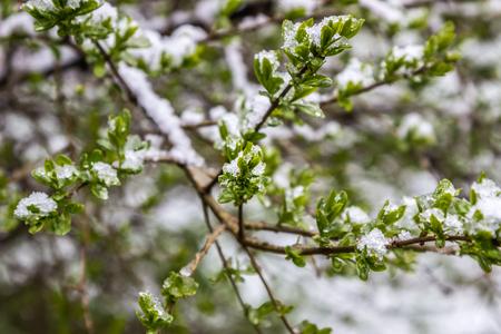 atmospheric phenomena: anomalous spring in Belarus, snow fell in May 2017