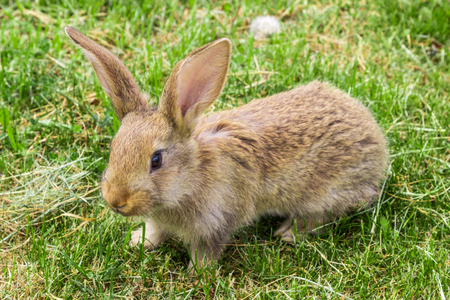 yard stick: young rabbit with protruding ears on green grass
