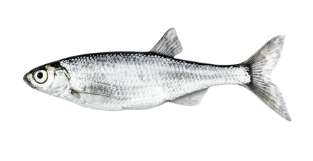 Fish isolated bleak (Alburnus) Stock Photo